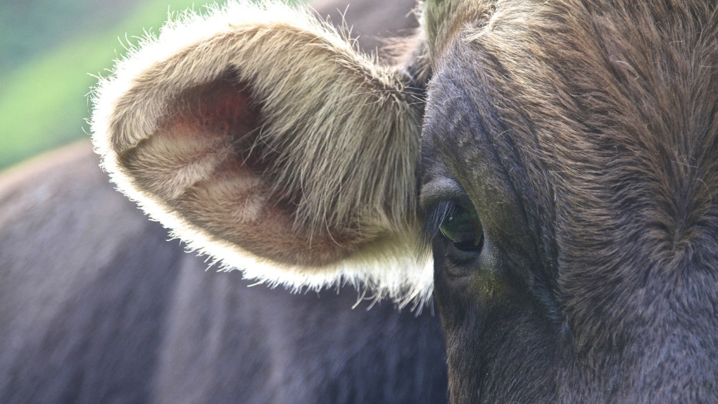 close up image of a cows eye and ear