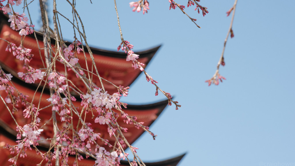 close up image of cherry blossom in Japan