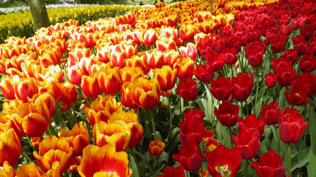 Image of tulips in Amsterdam