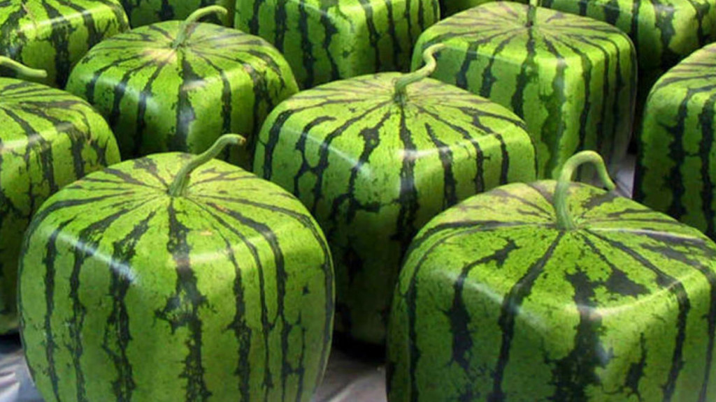 Japanese food - image of square watermelons