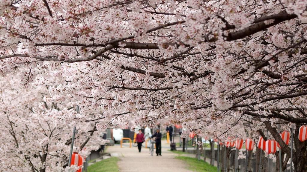 Image of cherry blossom in Japan