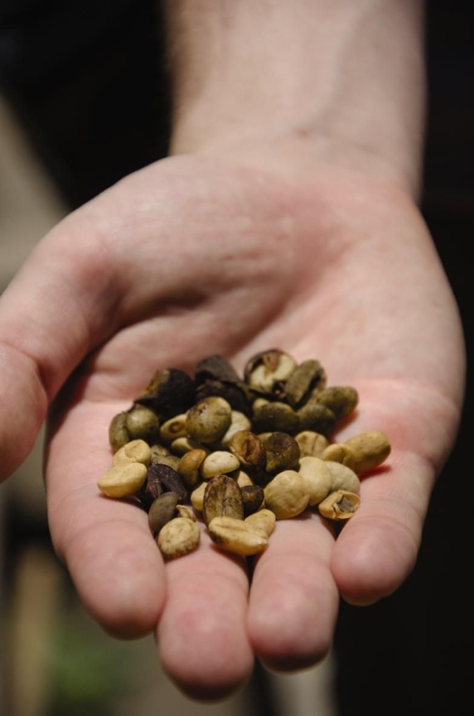 hand holding costa rican coffee beans