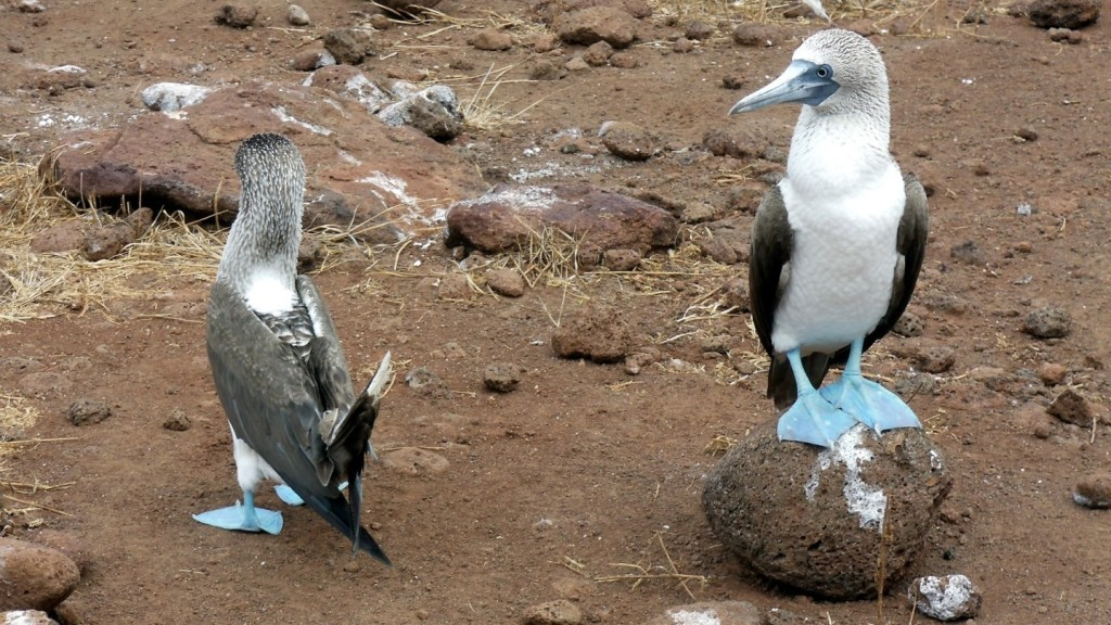blue-footed boobie central america travel