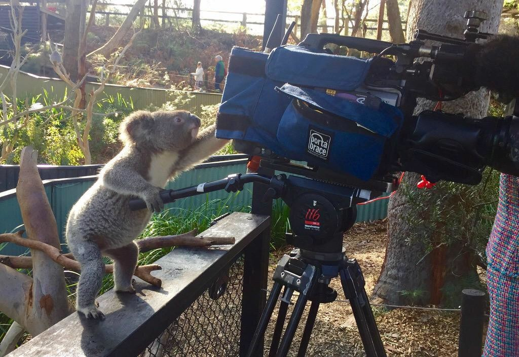 Craziest things to come out of Australia - Image of koala