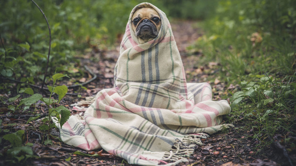 Pug wrapped in scarf