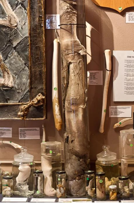 walrus penis at the Iceland penis museum