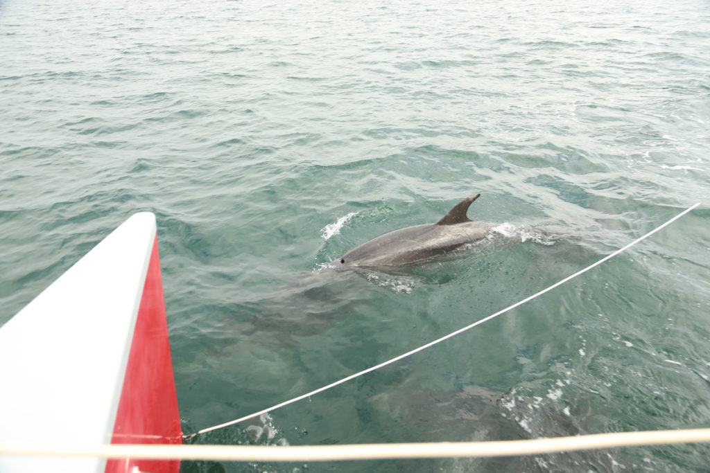 Dolphins next to boat- things to do in croatia